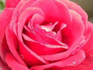 Mijn roos