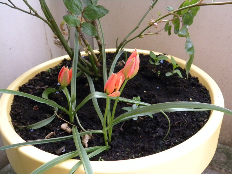 botanische tulplen