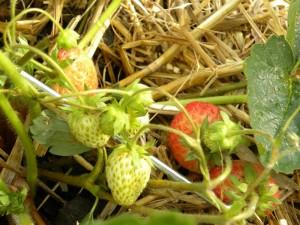 De volgende dikke aardbeien komen er al aan
