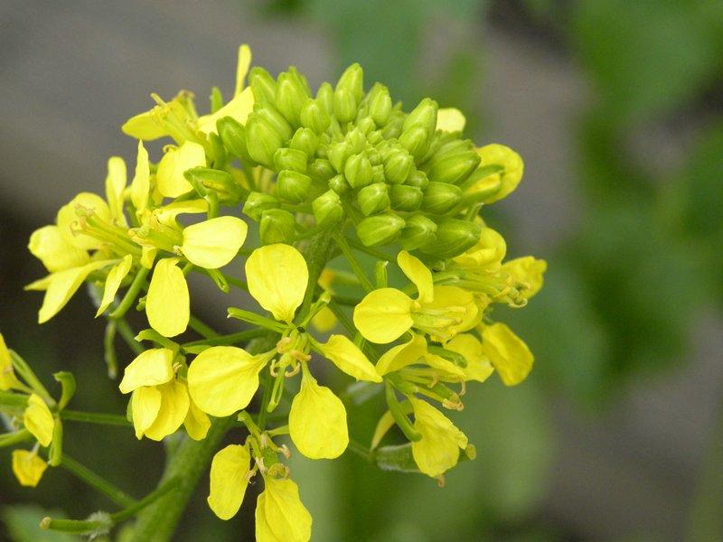 mosterdplant