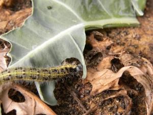 Fascinerend om te zien hoe snel een rups een blad eet. Je kunt zien hoe het een rand opeet.