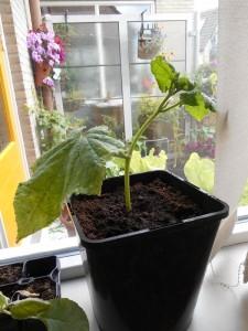 gestekte komkommerplant