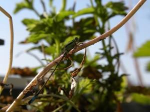 Libelle lantaarntje