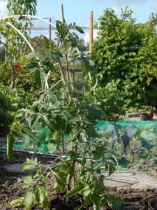 tomatenplant_warm
