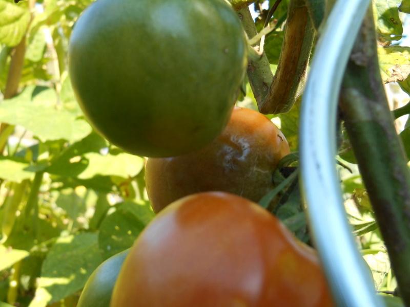 zieke tomaat