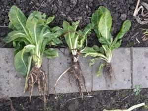 witlofwortel oogsten
