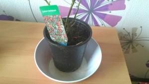 plant goji gojibes