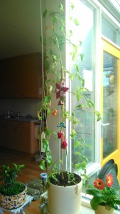 cherrytomaat, sungold