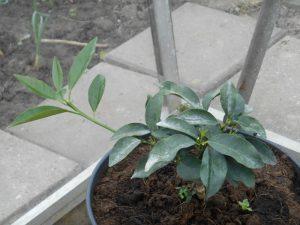 mandarijnenboom citrus reticulata
