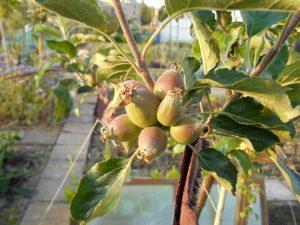 appelboom_vruchtdunning